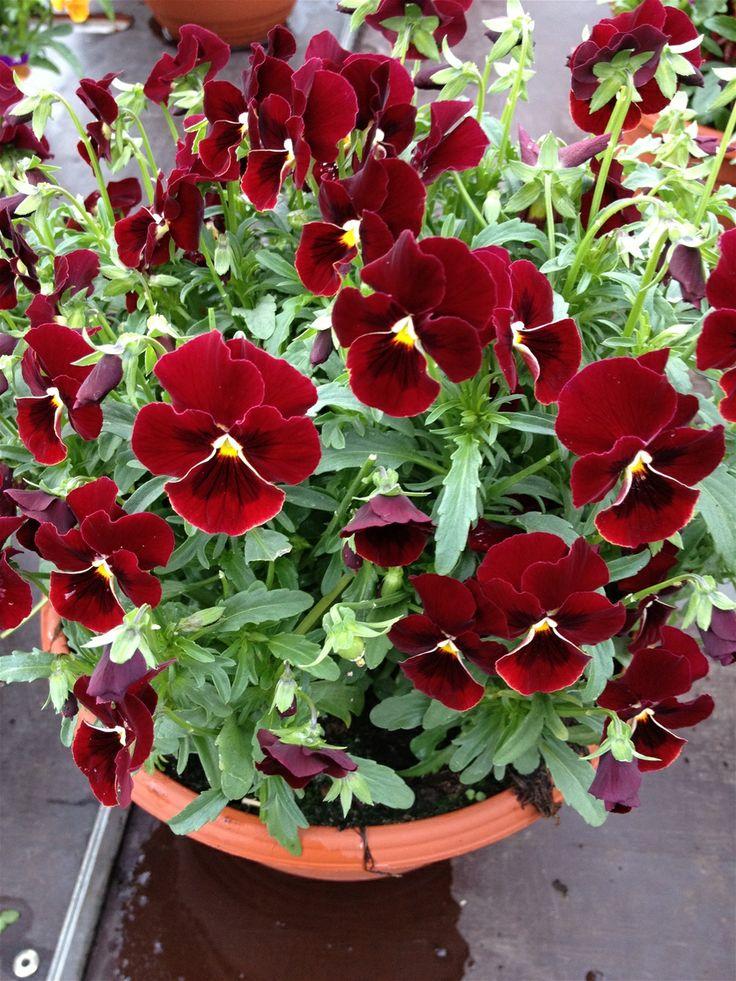 Etter 01.04. selger vi plantene i 12 cm. potter eller i 20 cm. planteskåler. Har minst 10 forskjellige sorter.