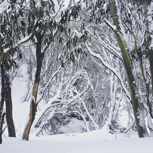 Snow gums looking gorgeous after a massive snow dump overnight