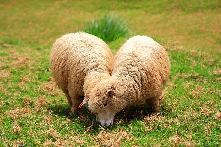 Compassion Sheep: Compass Sheep,  Tups