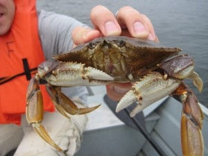 How to catch Dungeness Crab