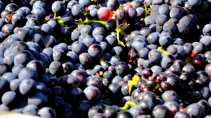 Vendanges#Pinot - Champagne Leroy-Meirhaeghe