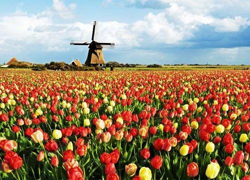 Tulip fields @ Noordwijk, the Netherlands