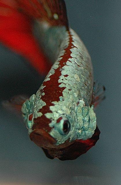 Trad PK Green Red Dragon M - Betta-Online by Daniella Vereeken, via Flickr