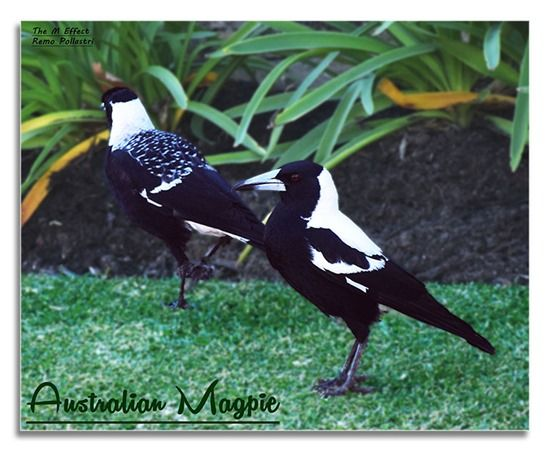 Birds of Western Australia - Magpie