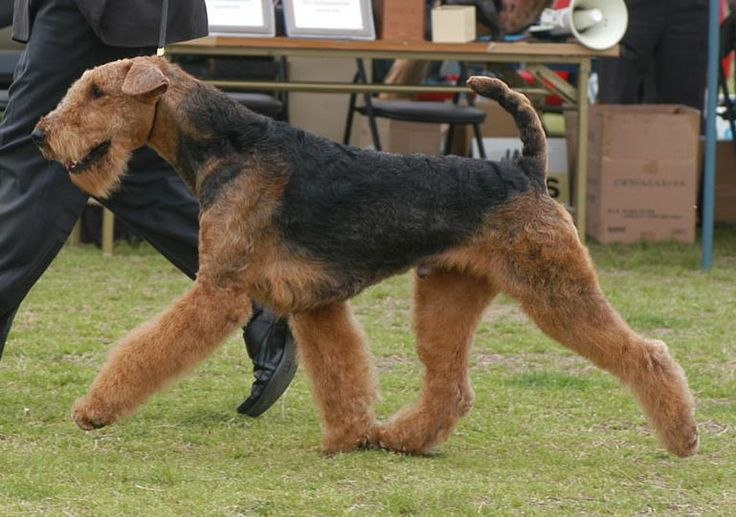 Airedale Gorgeous! | The Terriers | Pinterest | Terrier ...