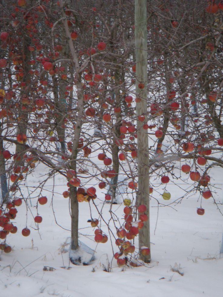 Vergers de Buzet sous la neige
