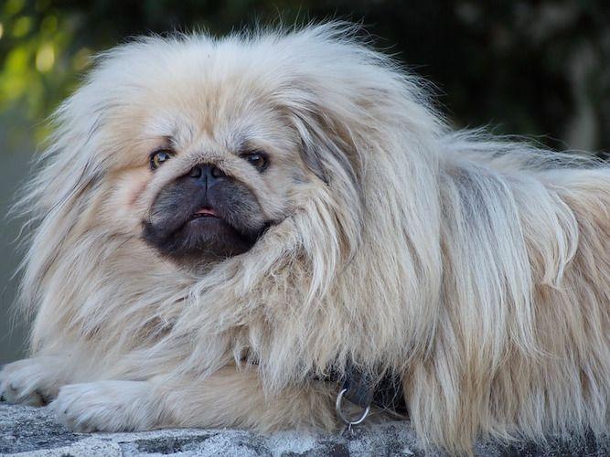 Photo Of Pekingese Dog Dog Training School Dog Training