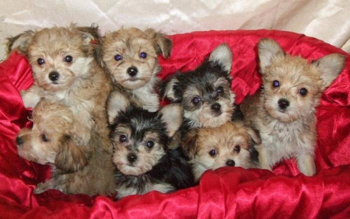 28 Best Morkie Puppies Images On Pinterest