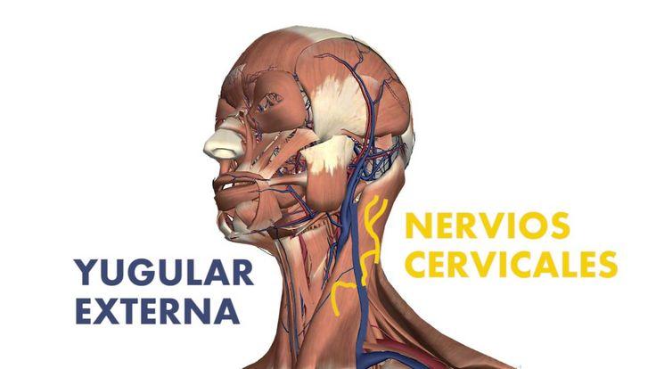 [3D] Músculos superficiales del cuello - Esternocleidomastoideo y Platisma
