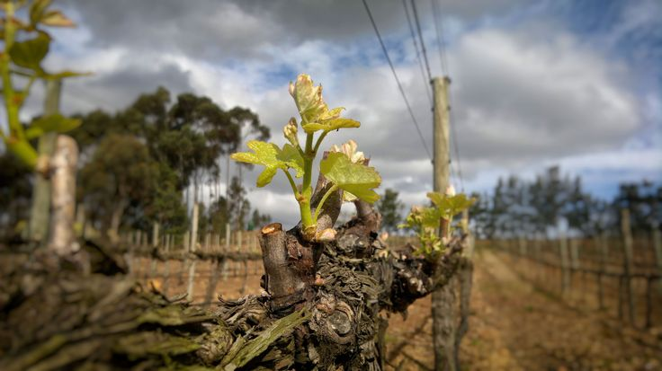 Richard Kershaw Wines was established in January 2012 to create clonally selected, site-specific, cool climate wines.