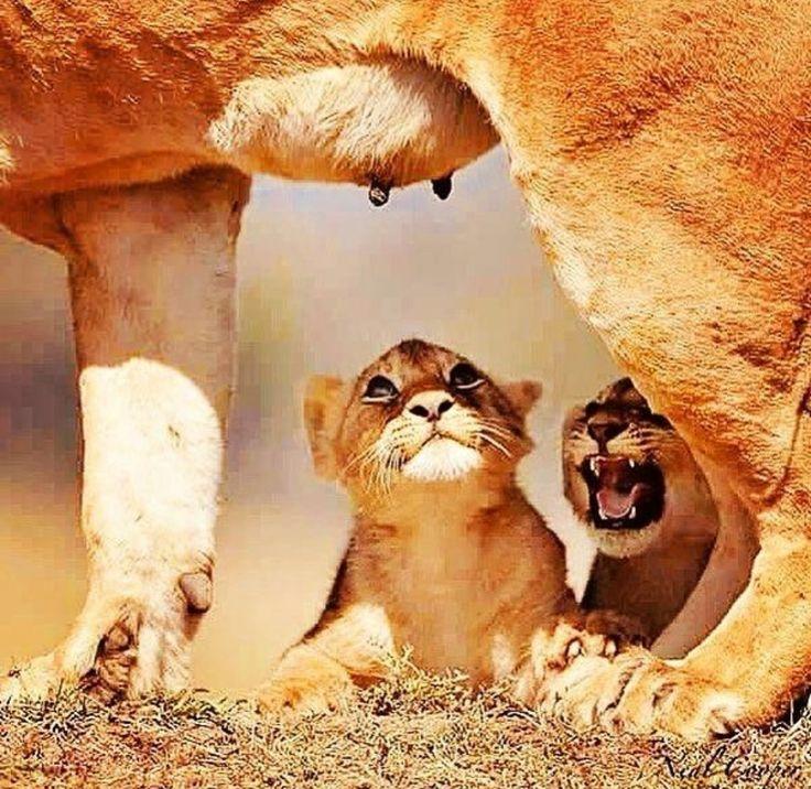 Felini/Leone ...(Panthera Leo ...): ehi!!!... ma così non ci arriviamo!