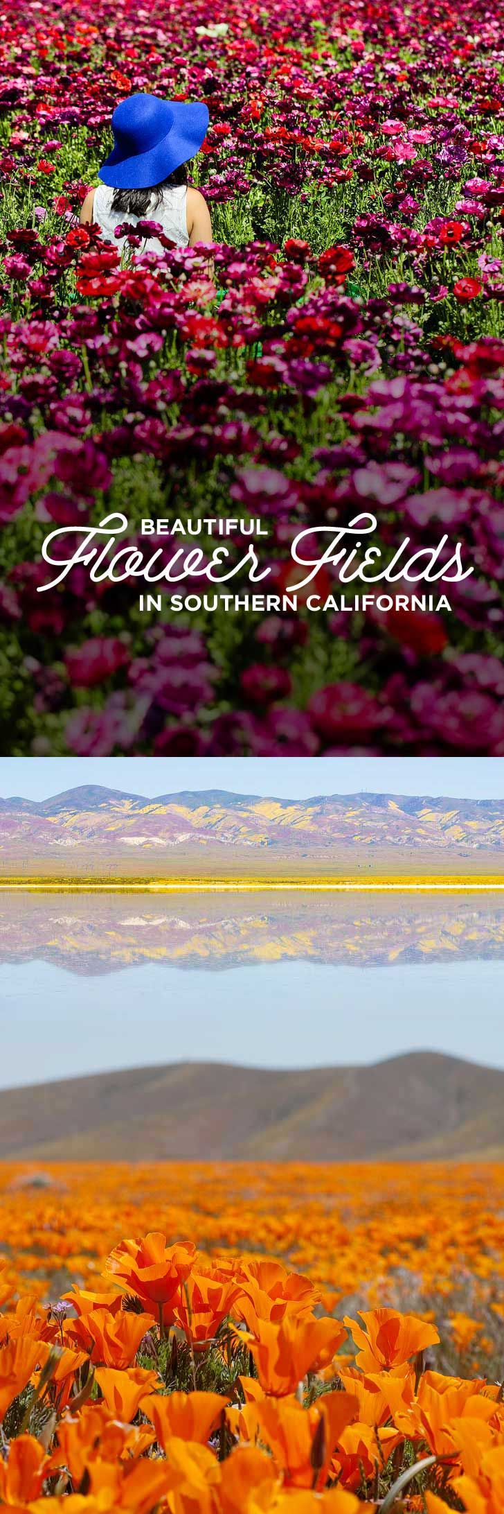11 Beautiful Southern California Flower Fields You Must Visit This Spring - Where to Look for Wildflowers // Local Adventurer #california #travelblog #wildflowers