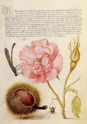 Damselfly, French rose, pink, semidouble, Spanish chestnut and spider by Joris Hoefnagel (Flemish, 1542–ca.1601) from Mira Calligraphiae Monumenta, illuminated by Joris Hoefnagel with calligraphy by Georg Bocskay