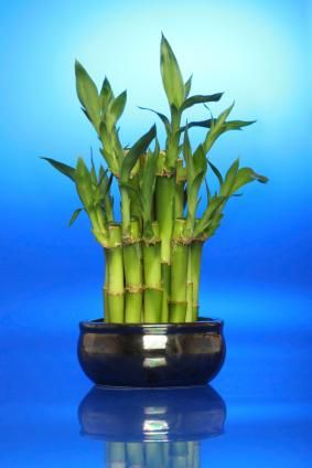 Ancient Asian traditions hold that the lucky bamboo plant carries a special balance of Feng Shui, attracting good fortune and well being to its environment.
