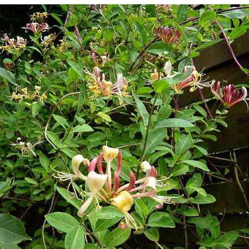 die besten 20 lonicera henryi ideen auf pinterest tuin hortensia annabelle und holzaufbewahrung. Black Bedroom Furniture Sets. Home Design Ideas