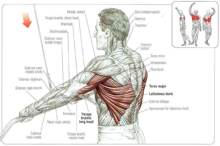 teres major bodybuilding - google search | anatomy | pinterest, Human Body