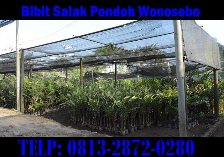 Jual Bibit Salak Pondoh Wonosobo Madu. Pemesanan HUB : 0813_2872_0280 (Bpk. H. Subambang) Aktif 24 jam nonstop.