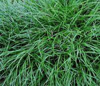 Cadutati Jardins: Grama-preta – Ophiopogon japonicus