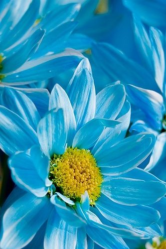 Blue Daisy - our wedding flower.
