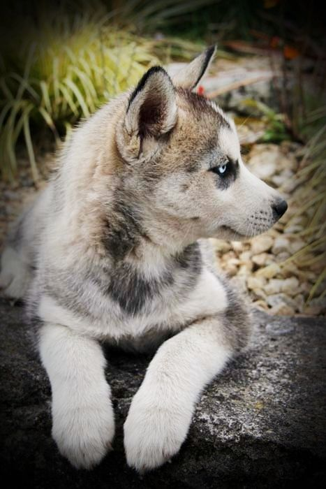 Siberian Huskey. Photography Anne Costello