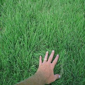 Cody Buffalo Grass - drought tolerant, warm season alternative to traditional American lawn