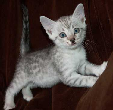 Egyptian Mau kitten - T1 and Sonic both in their own colourings