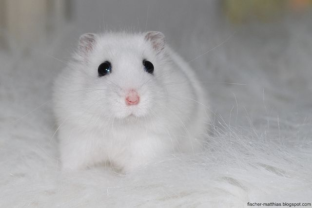 White Sweet Cute Baby Hamster Snorre by Daron82, via Flickr