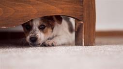 fobia al ruido en mascotas