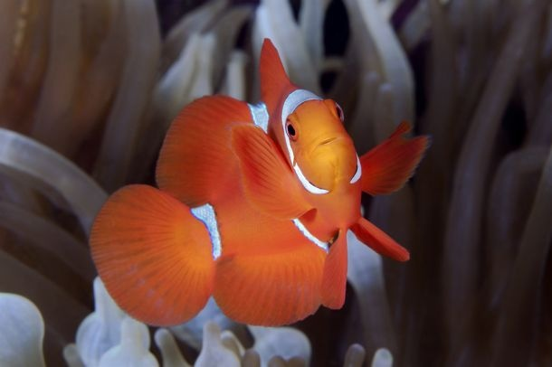 "Acquista ""Baby Clown fish"" di Pietro Formis su stampedautore.it"