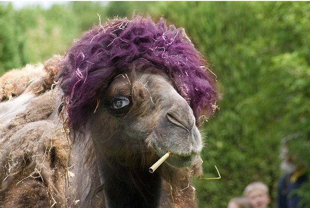 Funny Camel Smoking