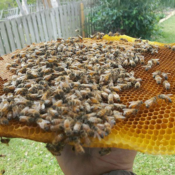 Spectacular Orlando Honey Bee Removal