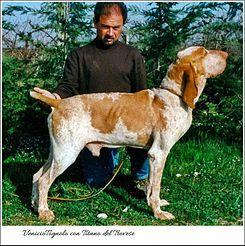 El bracco italiano es una raza de perro de caza oriunda del norte de Italia, junto con el spinone italiano es una de las dos razas de muestra nacionales.    Existían dos variedades, cada una con su estándar: una de bracos ligeros más adaptados a la montaña y otra de perros pesados más adaptados a la llanura. Hoy la raza es una y su estándar fue decidido en 1949 por la Sociedad de Amigos del Braco Italiano en la ciudad italiana de Lodi.
