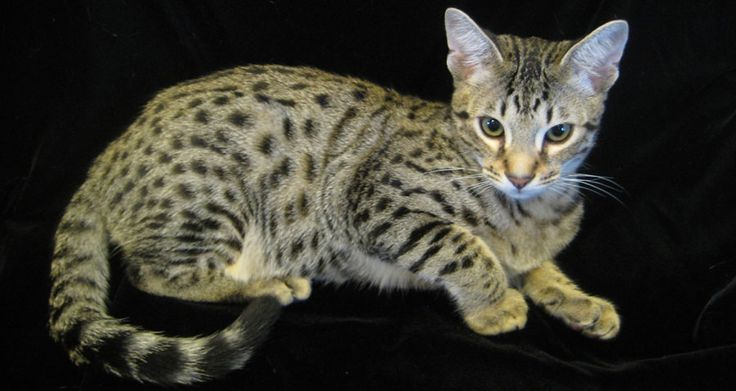 Savannah Cats For Sale In Houston Tx