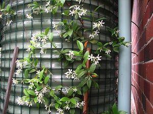 best 25 trachelospermum jasminoides ideas on pinterest. Black Bedroom Furniture Sets. Home Design Ideas