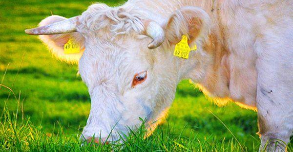 Ganado Bovino    Tabla de contenidos   1 Indicaciones para alimentar el ganado bovino  1.1 Asignar el forraje al ganado bovino  1.1.1 Utilización de los recursos y a la calidad de la dieta del ganado bovino  1.1.2 Más de mi sitio