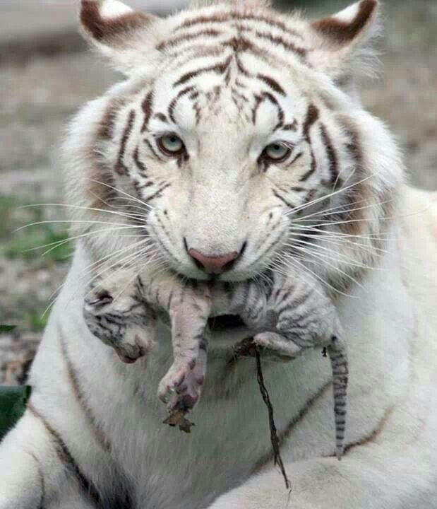 Sacred Nature <3 White tiger holding a baby tiger cub