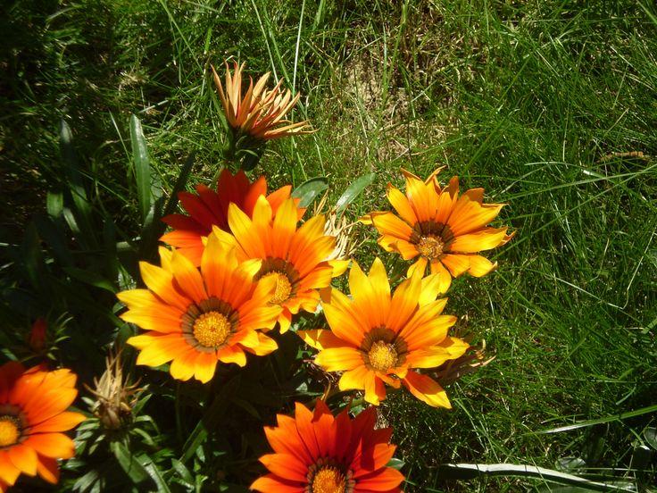 gazania giallo-arancio