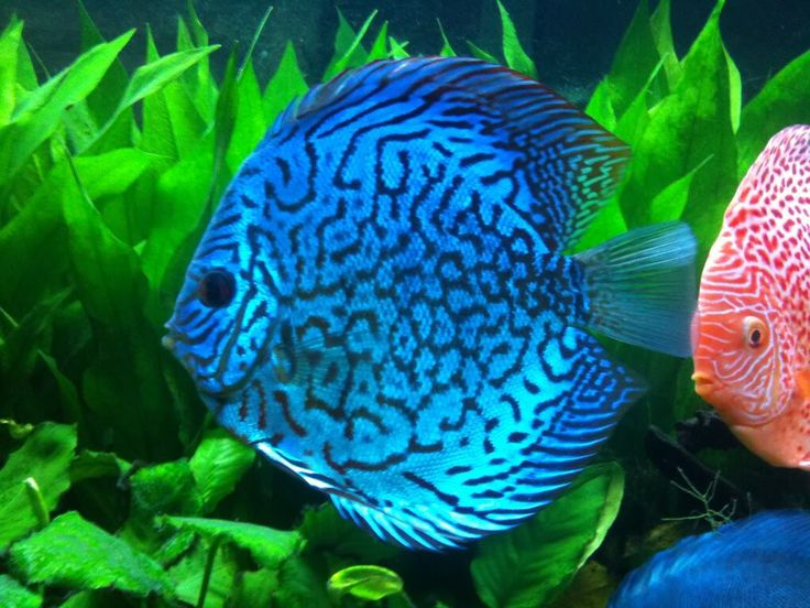 551 best images about discus fisk selskabs fisk on for Discus fish for sale near me