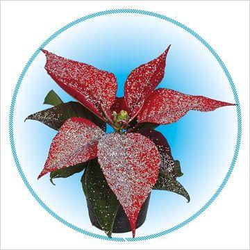 Euph. Diverse soorten rood met glitters Zilver