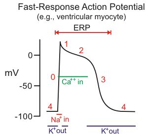 Ion currents responsible for ventricular action potentials. Sodium-channel blockers comprise the Class I antiarrhythmic compounds according to the Vaughan-Williams classification scheme. These drugs bind to and block the fast sodium channels that are responsible for the rapid depolarization (phase 0) of fast-response cardiac action potentials.