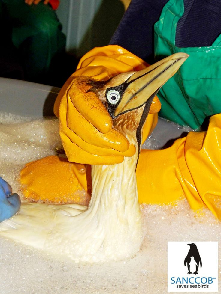 Oiled Cape Gannet being washed at SANCCOB