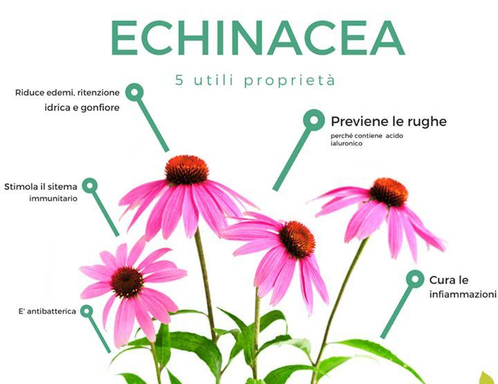 Il cambio di stagione mette a dura prova la nostra salute: l'echinacea può aiutarci, non solo per rinforzare le nostre difese immuntarie #prevenzione #naturalidifese #echinacea