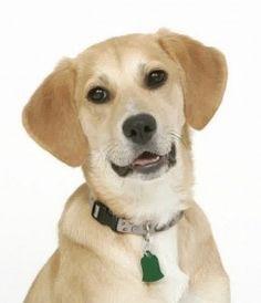 beagle-lab-mix_10.jpg (236×274)