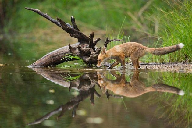Liška obecná (Vulpes vulpes). Liška pije z malého rybníčku ukrytého uprostřed...
