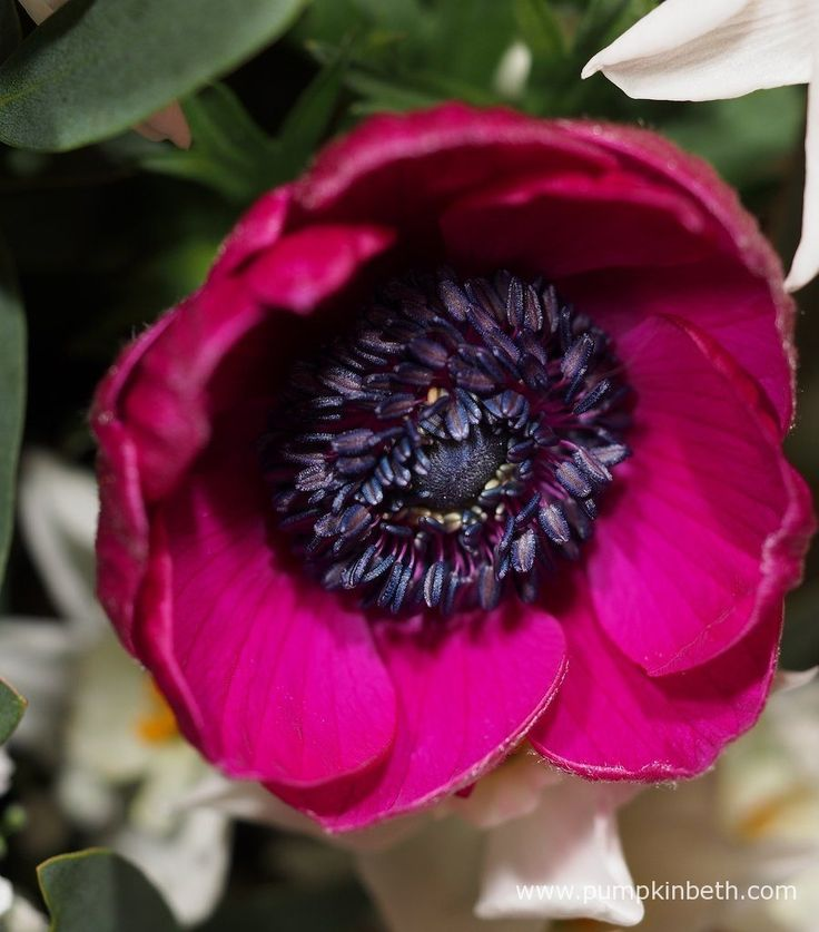 This beautiful pink Anemone bloom is from The Great British Florist.