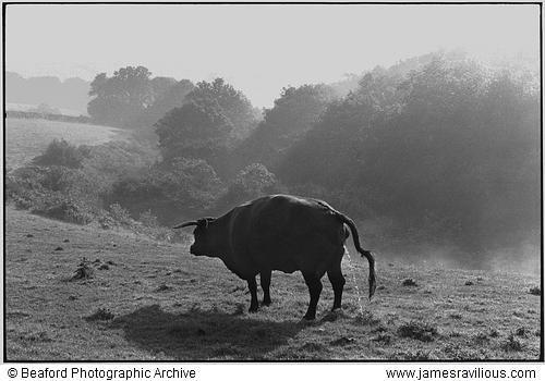 Red Devon cow, Narracott, Hollocombe, Devon, England, 1981