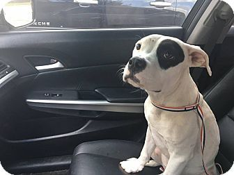 Dallas, TX - Pit Bull Terrier/American Bulldog Mix. Meet Cookie, a puppy for adoption. http://www.adoptapet.com/pet/16602078-dallas-texas-pit-bull-terrier-mix