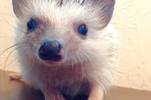 Play with cute hedgehogs at a cafe in Roppongi, Tokyo! - 4