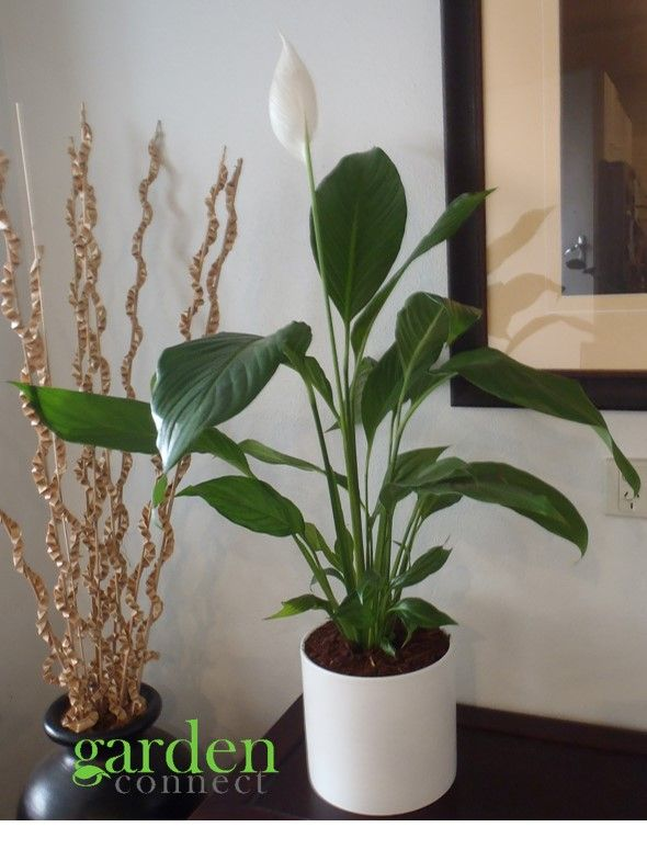 Spathiphyllum wallisii 'Peace Lily' For sale at Garden Connect 'Peace Lilly' an easy care plant that will tolerate low light positions which make them perfect for the indoors of your home or workplace.  The Peace Lily plant is highly rated in removing airborne mould and is an excellent air cleaner for the indoors. For more information contact Melissa at Garden Connect.