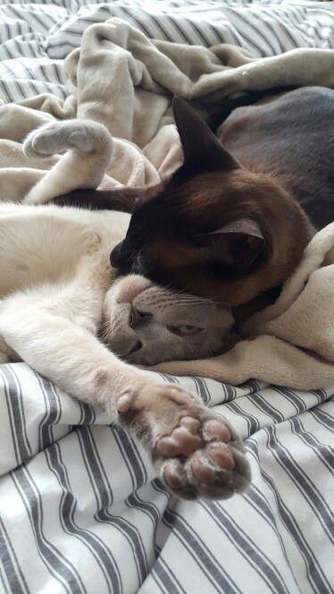 My tonkinese cats